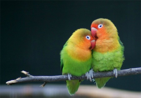 Love-Birds-450x313