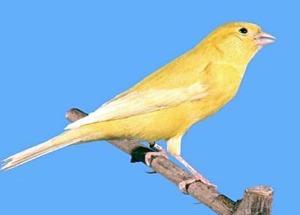 canary-300x215
