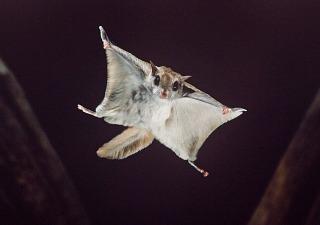 flying-squirrel-320x225